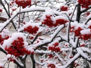 Рябина на ветке зимой