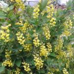 Фото-0137 Барбарис на цвету