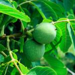 Зеленые орехи на ветке